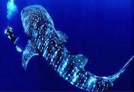 Utila Honduras Diving Whale Shark